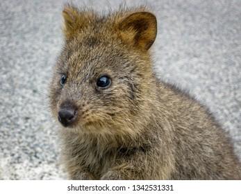 quokka animal in western australia rottnest island