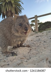 Quokka at Beach, Rottnest Island, Western Australia, The happiest animal on earth