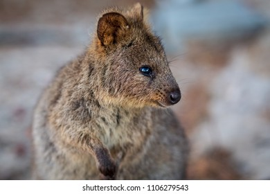 Quokka closeup on Rottnest Island