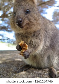 Quokka eating rubber fig fruit at Rottnest Island, Western Australia, The happiest animal on earth