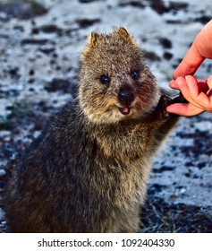 Quokka - The Happiest Animal Alive
