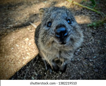 Quokka is the happiest and most smiling animal in the world.