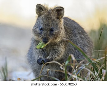 Quokka with leaf. Image of a quokka enjoying an afternoon snack. It was quite interesting to see it place a leaf in it's mouth and munch it, without hands.