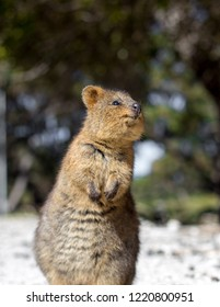 A Quokka looking upwards on Rottnest island