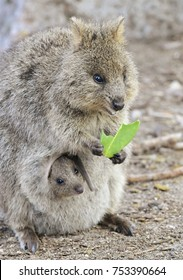 Quokka mom with joey in the pouch on Rottnest Island, Australia.