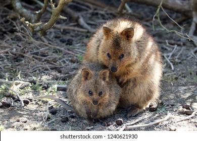 Quokka Mother and Baby marsupial  (Setonix brachyurus) at Rottnest Island Australia