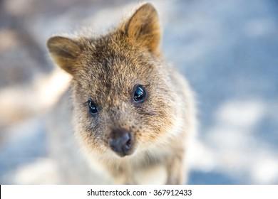 Quokka on Rottnest Island, Australia.