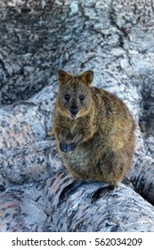 A Quokka on Rottnest Island, Australia. The Quokka is a small marsupial and looks like a Wallaby or Kangaroo.