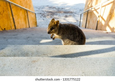 Quokka on stairs on Rottnest Island, Perth, Western Australia, Australia. The quokka is possibly the most well-known animal on Rottnest Island.