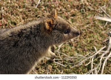 Quokka Rottnest