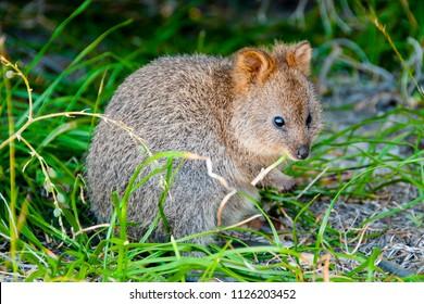 Quokka - Rottnest Island - Australia