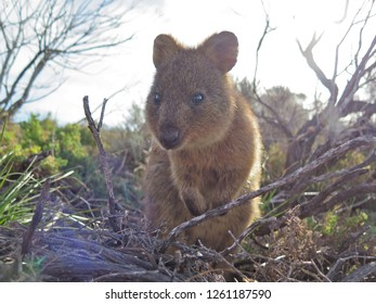 Quokka (Setonix Brachyrus) encounter at Rottnest Island, Western Australia, The happiest animal on earth