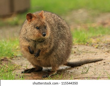 A quokka (Setonix brachyurus), a native Australian animal.