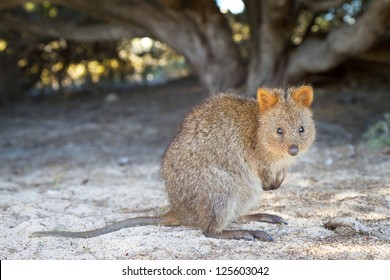 Quokka (Setonix brachyurus) on Rottnest Island, Western Australia