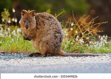 A quokka (Setonix brachyurus) standing amongst grass & grass flower heads which it's made a meal of.   Native to Western Australia's Rottnest Island, the quakka is a small herbivorous marsupial.