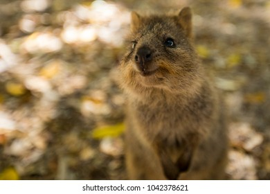 A Quokka smiles for the camera on Rottnest Island in Western Australia.