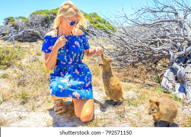 Quokka sniffing girl hand in a sunny day outdoors, summer season, Australia. Blonde caucasian tourist woman interacts with curious Quokka in the wilderness of Rottnest Island, Western Australia.