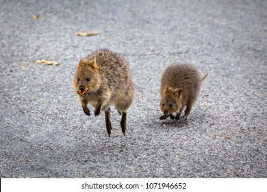Quokkas chasing each other for food