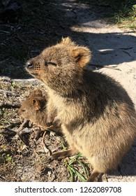 quokkas in the sun australia