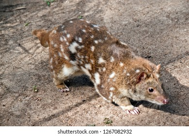 the quoll is a cat like marsupial, with a pink nose