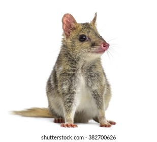Quoll isolated on white (4 years old)