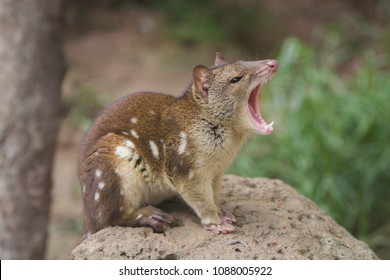 Quoll also known as Spotted Quoll and Tiger Quoll