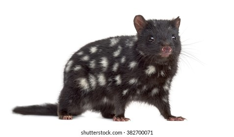 Quoll looking at the camera, isolated on white (3 years old)