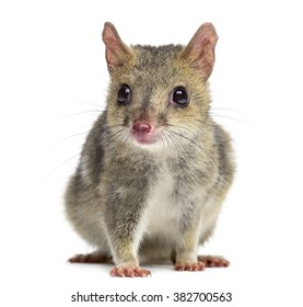 Quoll looking at the camera, isolated on white (4 years old)
