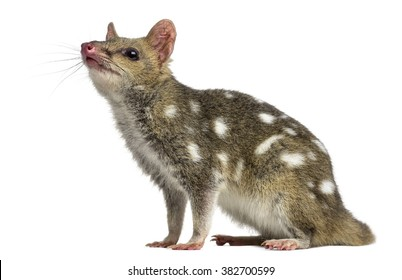 Quoll looking up, isolated on white (4 years old)