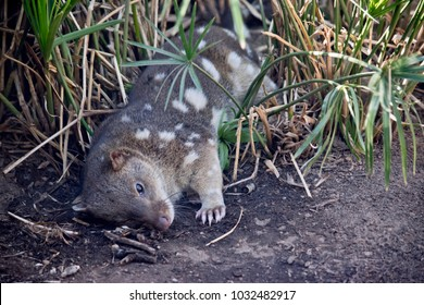 the quoll is resting in the tall grass trying to keep cool
