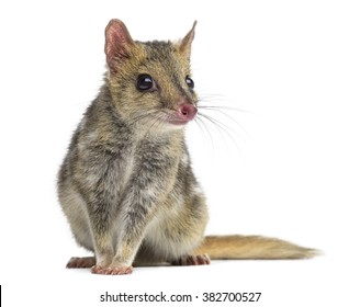 Quoll sitting, isolated on white (4 years old)