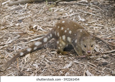 the quoll is walking in bark and leaves