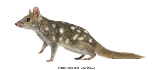 Quoll walking,isolated on white (4 years old)