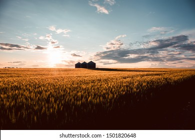 Quonset huts in a beautiful wheat field, at sunset, in central Alberta, Canada. Scenic view