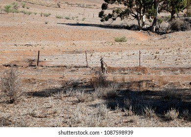 Quorn South Australia, Kangaroo by fence with bare paddock in background