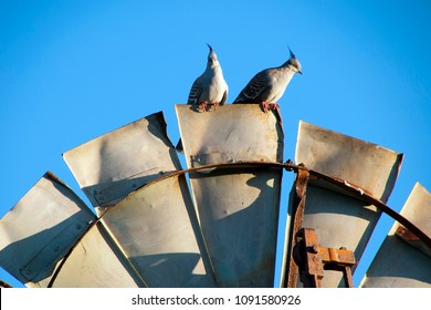 Quorn South Australia, Topknot pigeons perched on top of windmill  blade in the late afternoon sun