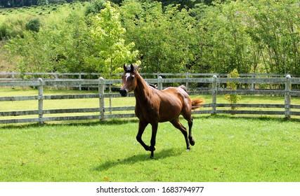 Rabaian Horse Breeding - Bay Mare