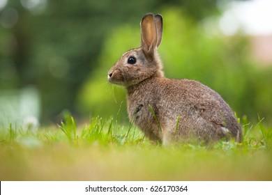 Cottontail Rabbit Images, Stock Photos & Vectors | Shutterstock