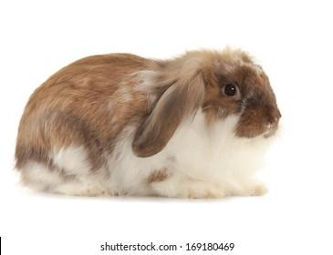 Rabbit Angora breed isolated on white background