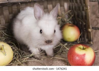 rabbit in apples
