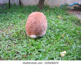 Rabbit, the back of a cute brown Holland lop rabbit in garden home. Chiang Mai Thailand.