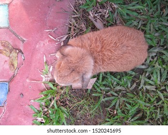Rabbit, the back of a cute brown Holland lop rabbit, is eating grass in garden home. Chiang Mai Thailand.