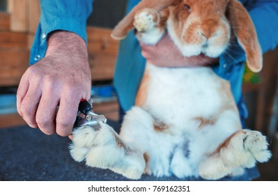Rabbit breeder trimming nails of his pet. Pets and animals concept