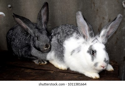 Rabbit breeding. Farm rabbits. Rabbits of different breeds.