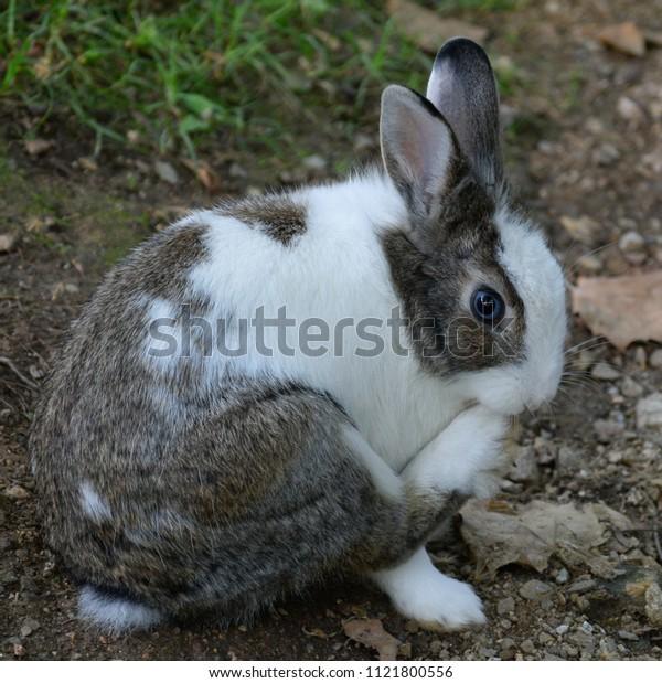 Rabbit cleaning itself