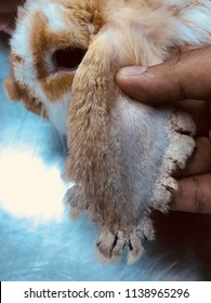 Rabbit with clinical sign of sarcoptic mange infection.Sarcoptic mange or scabies is a contagious parasitic disease caused by mite called Sarcoptes scabiei that affects animals and people