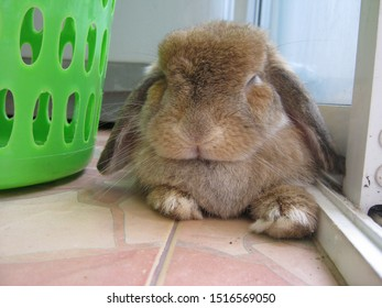 Rabbit, cute brown holland lop is sleeping on the tiled floor at home. Chiang Mai, Thailand.