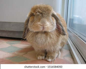 Rabbit, cute brown Holland lop rabbit is siting on the tiled floor in home. Chiang Mai Thailand.