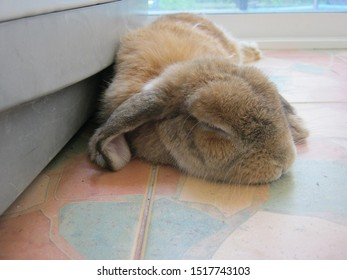 Rabbit, cute brown Holland lop is sleeping on the tiled floor near the washing machine, in a room at home. Chiang Mai Thailand.