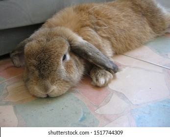 Rabbit, cute brown Holland lop is resting on the tiled floor near the washing machine, in a room at home. Chiang Mai Thailand.